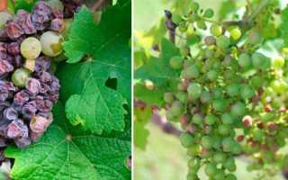 Лечение болезней листьев у винограда