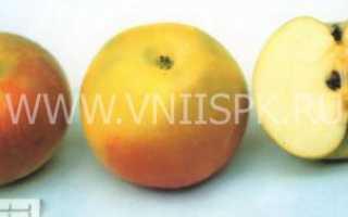 Сорт яблок золотой ранет