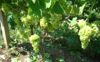 Свойства бессемянного винограда