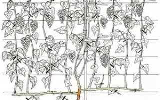 Способы формировки виноградных кустов