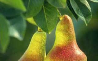 Калорийность и химический состав груши
