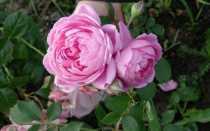 Роза аленушка фото и описание