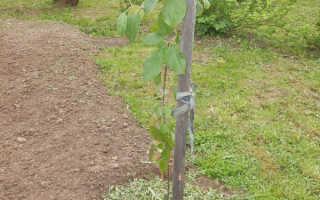 Нужно ли обрезать саженец яблони после посадки