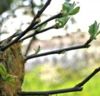 Как привить яблоню весной на старое дерево