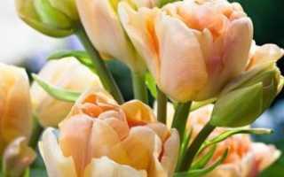 Какие особенности имеют махровые тюльпаны