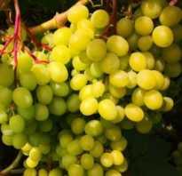 Виноград кишмиш цимус описание сорта фото