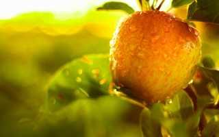 Выращивание колоновидной яблони зеленый шум