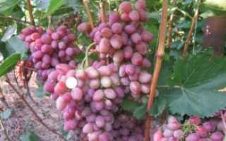 Виноград парижанка описание сорта фото отзывы