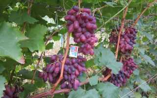 Выращивание винограда ризамат