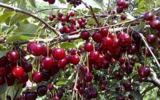 Описание сорта вишни шпанка