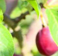 Агротехника выращивания сливы гармония