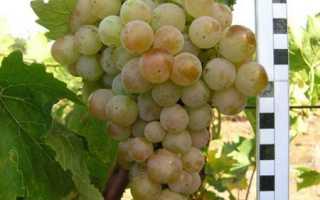 Описание мускатного винограда