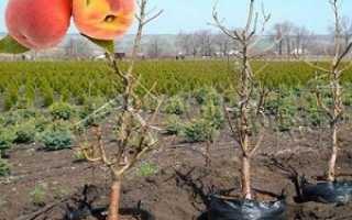 Как пересадить персик осенью
