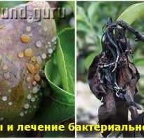 Бактериальный ожог яблони лечение антибиотиками фото препараты