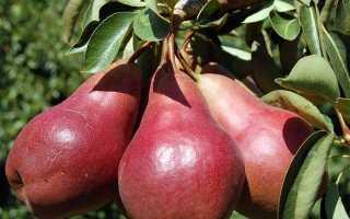 Сорт груши старкримсон его описание и правила выращивания