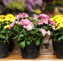 Хризантемы выращивание в доме