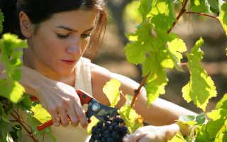 Причины по которым сохнут ягоды винограда