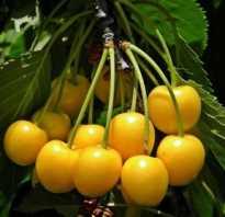Выращивание черешни россошанская золотая