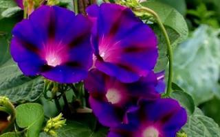 Цветы ипомея фото