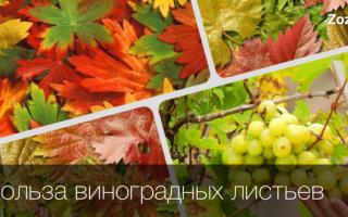 Полезные свойства молодого листа винограда