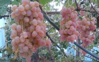 Выращивание винограда тайфун
