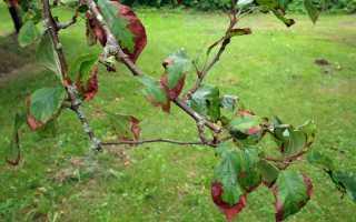 Ржавчина на листьях яблони