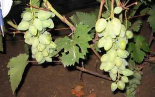 Уход и выращивание винограда камелот