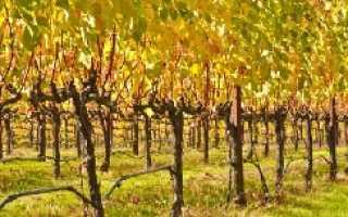 Как обрезать старый виноград осенью