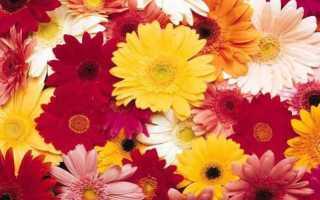 Герберы правила ухода за срезанными цветами