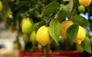 Популярные сорта домашних лимонов