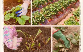 Что делать с кустами клубники осенью