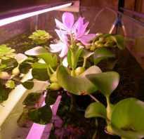 Каллы водяной гиацинт водные растения