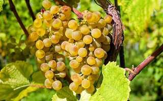 Польза винограда кишмиш