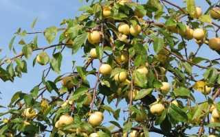 Сорт яблони уральское наливное посадка и уход
