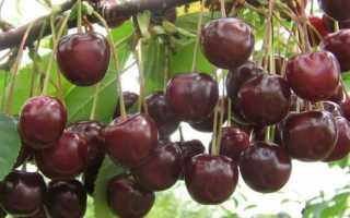 Особенности вишни норд стар