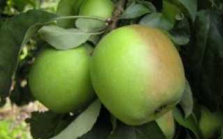 Сортовые характеристики яблони память сикоры