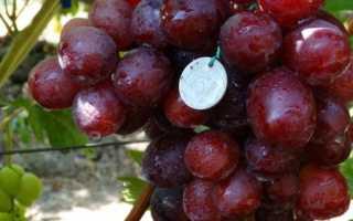 Сорт винограда эверест павловского