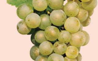 Шардоне сорт винограда и вина