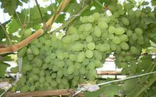 Достоинства винограда тимур