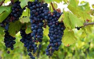 Изабелла польза и вред винограда