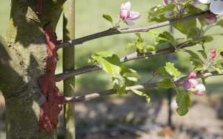 Как правильно привить яблоню весной