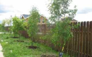 Расстояние посадки деревьев от соседнего участка