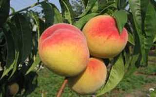 Выращивание сорта персика киевский ранний