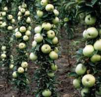 Сорт яблони малюха колоновидная