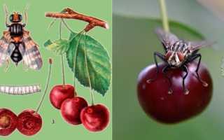 Как бороться с червями в черешне