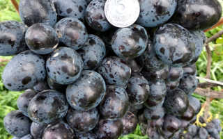 Описание винограда лорано