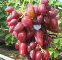 Особенности винограда дубовского розового