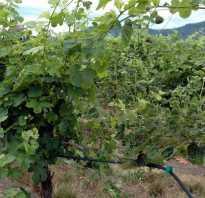 Нужно ли обрывать листья у винограда осенью