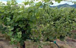 Зачем удалять листья у винограда