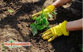 Как развести малину на садовом участке
